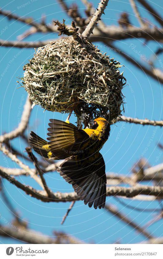 warmes Heim Umwelt Natur Pflanze Baum Ast Garten Park Tier Wildtier Vogel Flügel Webervogel Nest Webernest 1 bauen natürlich Farbfoto Außenaufnahme Tierporträt