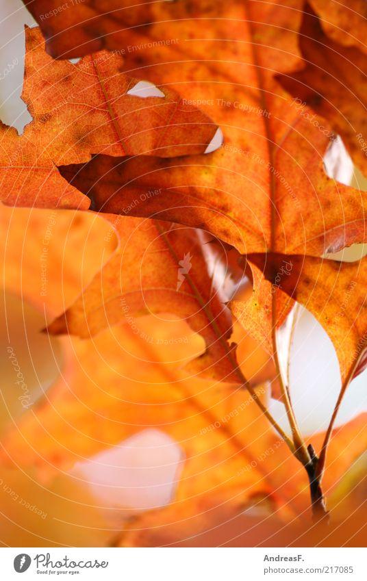 Eichenblätter Natur Pflanze rot Blatt Herbst orange Umwelt Blattadern Herbstlaub Oktober Eiche Zweige u. Äste Makroaufnahme herbstlich Herbstfärbung Eichenblatt