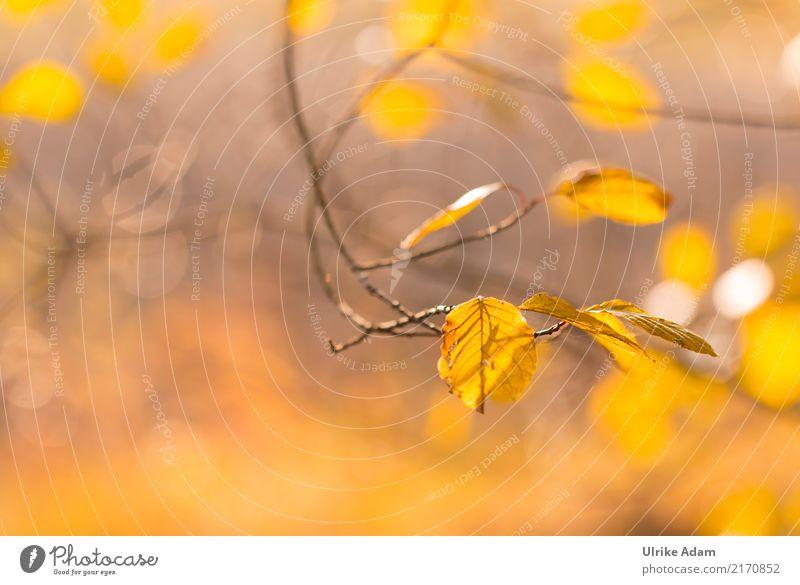 Herbst Design einrichten Dekoration & Verzierung Tapete Bild Poster Natur Pflanze Sonne Baum Blatt Buchenblatt Ast Wald glänzend leuchten Warmherzigkeit weich