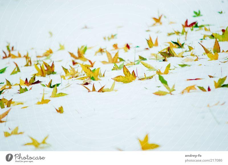 Winterschmetterlinge Schnee Natur Herbst Blatt gelb gold grün weiß Herbstlaub Winterstimmung Wintertag Spitze eckig kalt hell Blätterfall Schneedecke schön
