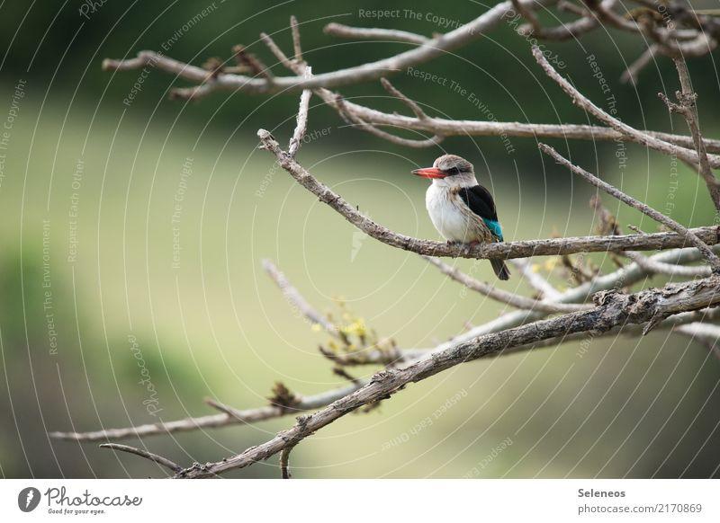 Piepmatz Ferien & Urlaub & Reisen Ausflug Ferne Freiheit Umwelt Natur Frühling Pflanze Baum Ast Garten Park Tier Wildtier Vogel Schnabel Eisvögel 1 klein nah