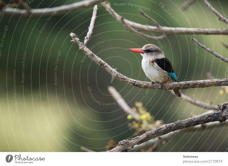 auf Beobachtungsposten Natur Baum Tier Umwelt natürlich Freiheit Vogel Park Wildtier beobachten Ast nah Tiergesicht Ornithologie Eisvögel
