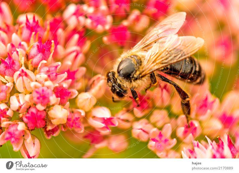 Biene auf großer Fetthenne schön Natur Pflanze Tier Blüte Wildtier 1 leuchten grün rosa Romantik Apis mellifera Insekt Große Fetthenne telephium Strahlen sonnig