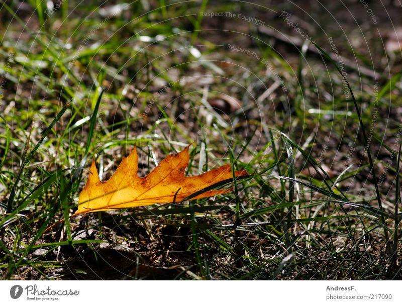 Herbst eben Umwelt Natur Pflanze Gras Blatt Eiche Eichenblatt Herbstlaub orange Herbstfärbung einzeln Farbfoto Detailaufnahme Textfreiraum rechts