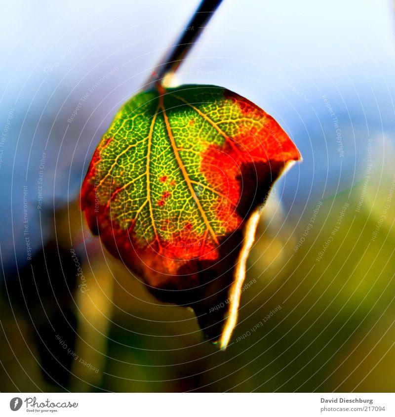 I love the autumn Natur Pflanze Herbst Blatt grün rot Herbstlaub herbstlich Herbstfärbung Herbstbeginn Blattadern Blattgrün Jahreszeiten hängen vertrocknet