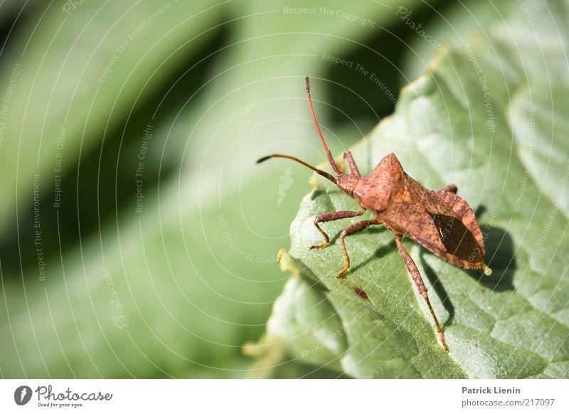 Absprung Umwelt Natur Pflanze Tier Urelemente Frühling Blatt Grünpflanze Wanze Insekt Fühler klein grün Farbfoto Außenaufnahme Detailaufnahme Makroaufnahme