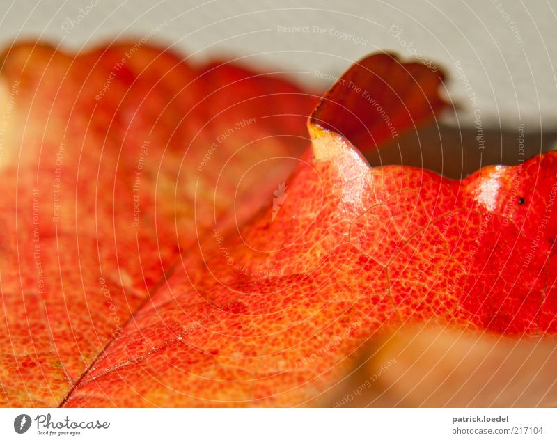 Herbstmaserung Umwelt Natur ästhetisch rot Gefühle Stimmung Vergänglichkeit leuchten Farbfoto Nahaufnahme Makroaufnahme Strukturen & Formen Menschenleer Wölbung