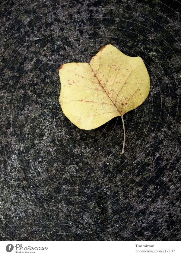 Solist Natur schön Blatt Herbst Umwelt ästhetisch Sauberkeit natürlich Botanik einzeln Blattadern Herbstlaub welk Herbstfärbung