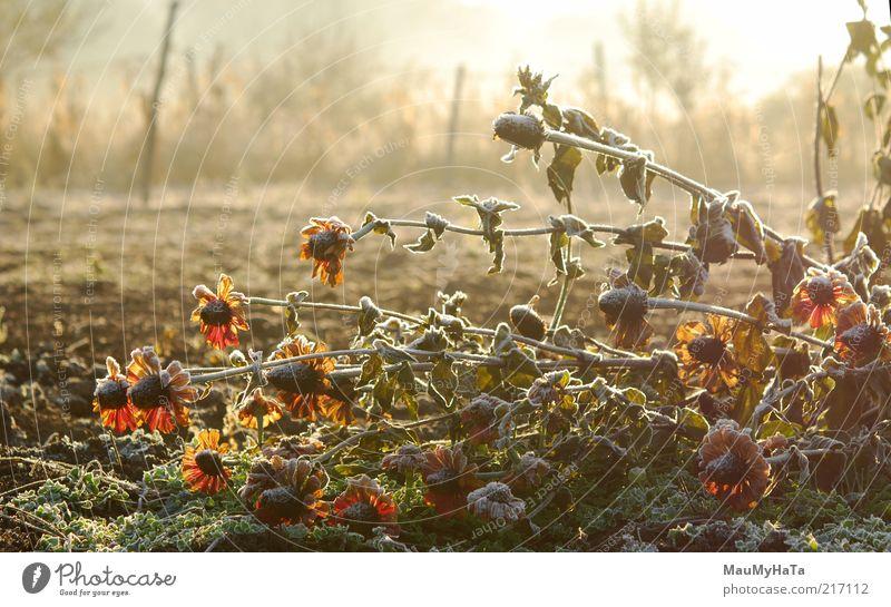 Frost im Garten Natur Pflanze Urelemente Wasser Himmel Horizont Sonne Sonnenaufgang Sonnenuntergang Sonnenlicht Herbst Klima Klimawandel Eis Schnee Blume Blüte