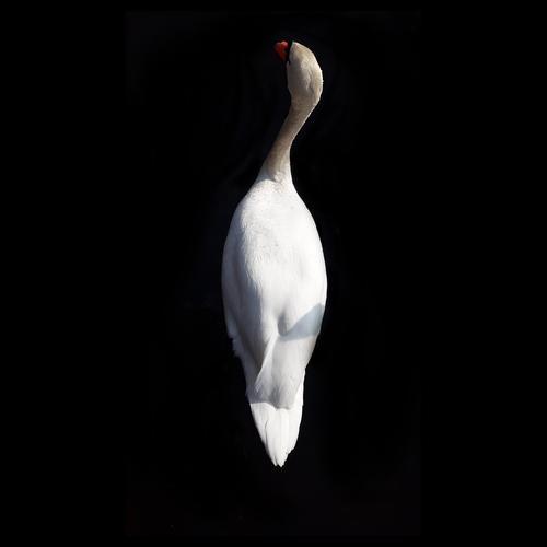 Der Schwan Natur weiß Tier ruhig schwarz elegant Gelassenheit Schwerelosigkeit