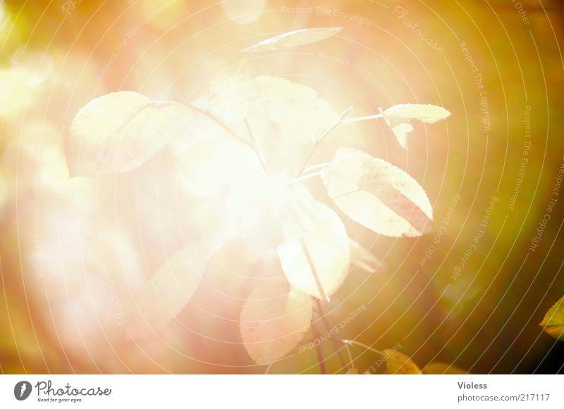 Lichteinfall Pflanze Blatt gelb Herbst Wärme braun hell gold leuchten Überbelichtung Licht