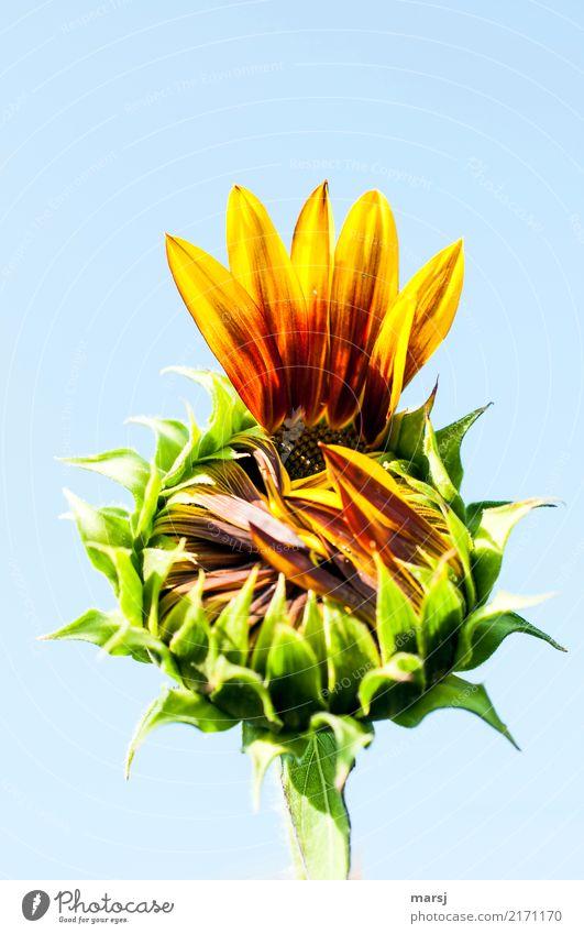 Give me five Natur Sommer Herbst Pflanze Blume Blüte Nutzpflanze Sonnenblume Blühend frisch Gesundheit Beginn aufmachen unvollendet Farbfoto mehrfarbig