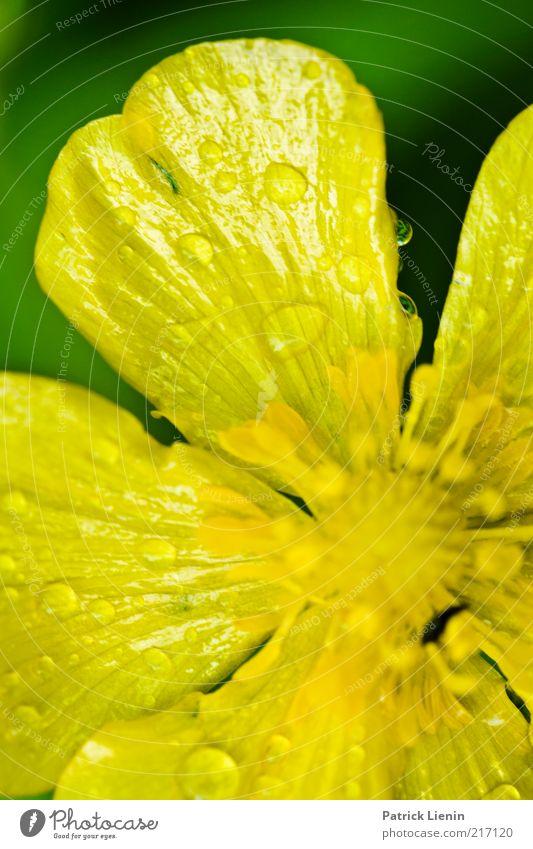 gelbe Tropfen Umwelt Natur Pflanze Wassertropfen Sommer Wetter Blume Blüte Wildpflanze beobachten Regen nass grün schön Hahnenfuß zart grell intensiv Nektar