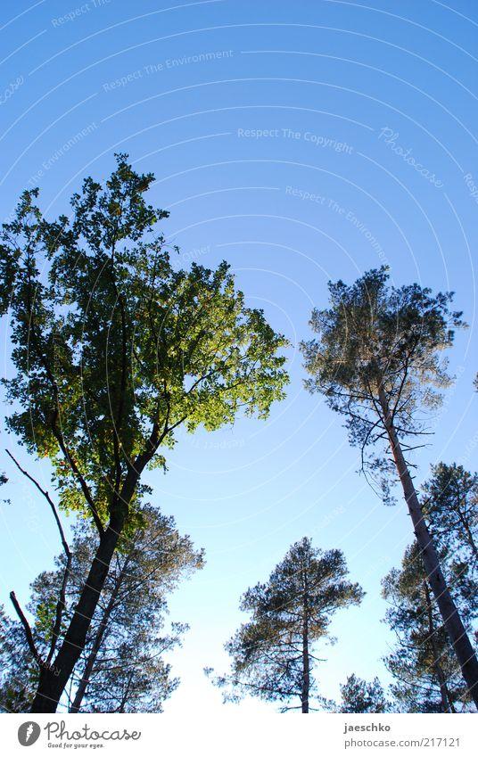 Wipfeltreffen Natur blau grün Baum Wald Tod Umwelt hoch groß einfach rein Schönes Wetter Baumkrone Klimawandel gigantisch Wolkenloser Himmel