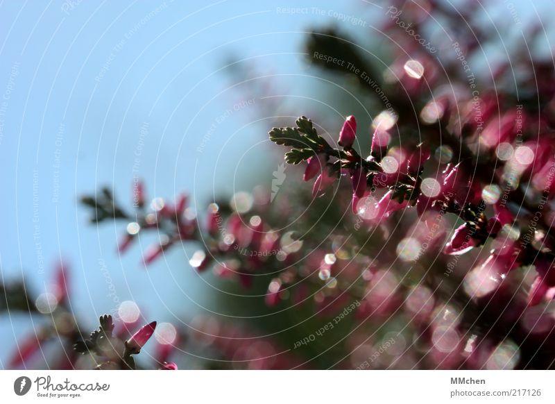 Reflektoren Heidekrautgewächse Unschärfe Bewegungsunschärfe rosa Blüte Bergheide Menschenleer Nahaufnahme glänzend Sonnenlicht