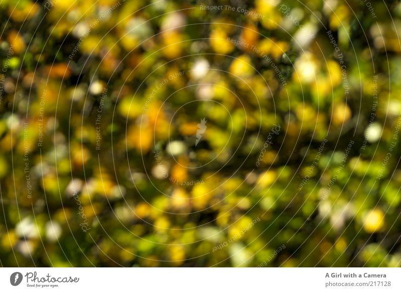 Du.bist.nicht.betrunken Umwelt Natur Pflanze Herbst Baum Blatt außergewöhnlich einzigartig natürlich mehrfarbig gelb grün Muster Menschenleer herbstlich