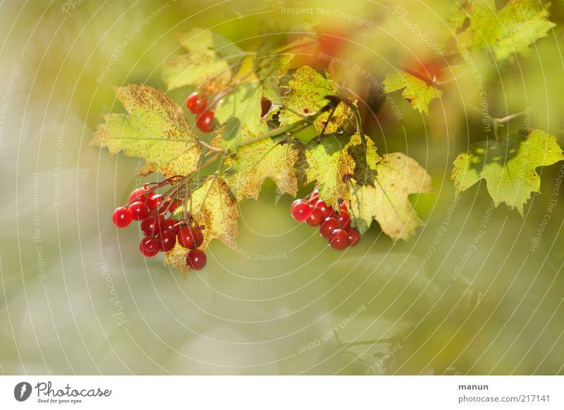 Beerensommer Lebensmittel Frucht Umwelt Natur Sommer Herbst Pflanze Sträucher Blatt Wildpflanze Beerensträucher Beerenfruchtstand fruchtig herbstlich
