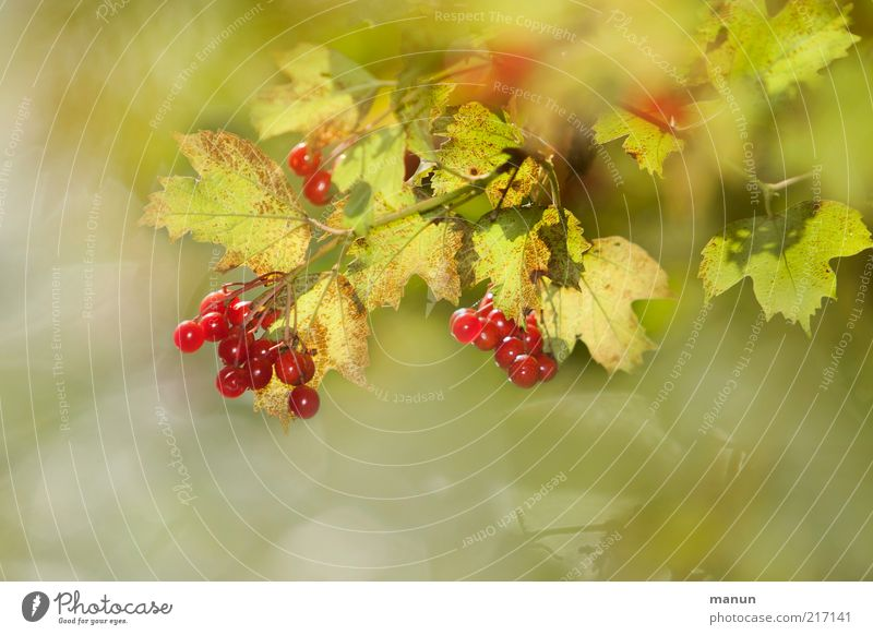 Beerensommer Natur schön Pflanze rot Sommer Blatt Herbst hell glänzend Lebensmittel Umwelt Frucht frisch Sträucher natürlich reif