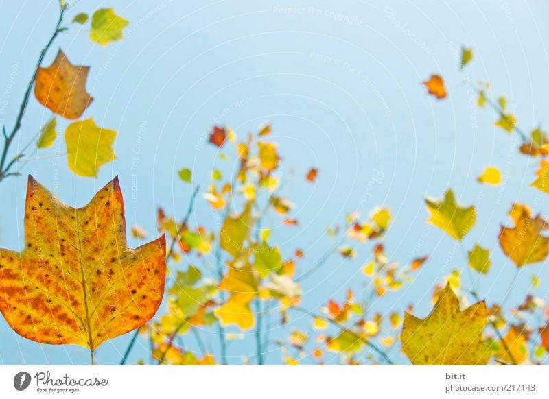 Frisch in den Herbst...(VII) Umwelt Natur Pflanze Wolkenloser Himmel Schönes Wetter Blatt hängen leuchten blau mehrfarbig gelb gold rot Vergänglichkeit