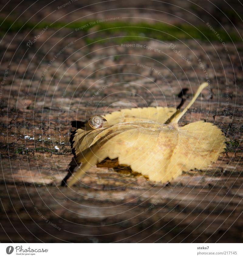 die Schnecke Herbst Blatt alt warten ruhig langsam Zeit Holz Leben Farbfoto Gedeckte Farben Außenaufnahme Nahaufnahme Menschenleer Textfreiraum oben