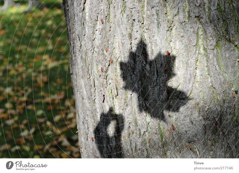 Schatten von Ahornblatt auf Baumrinde Natur Blatt Herbst Wiese Vergänglichkeit Baumstamm Herbstlaub Schattenspiel