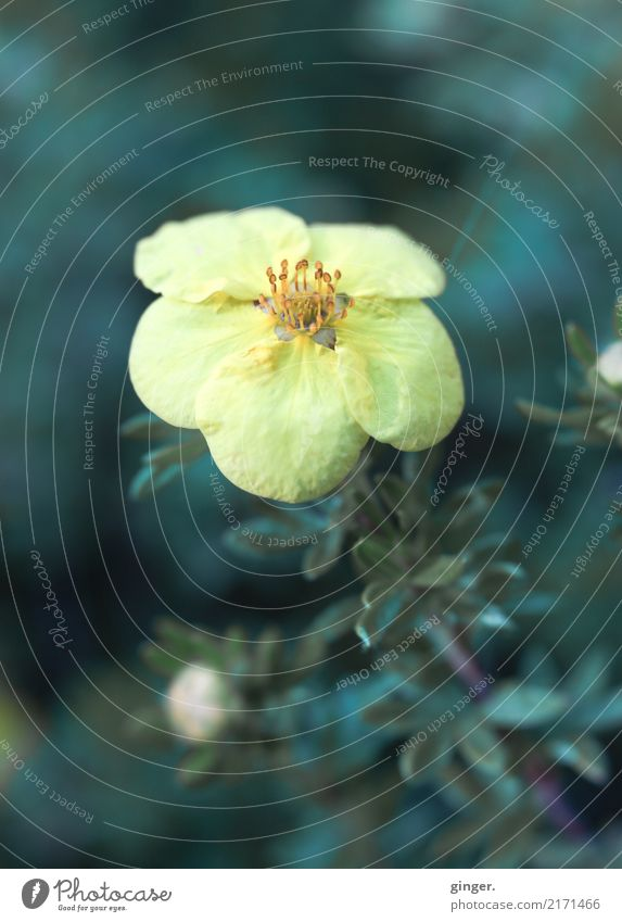 Drömblöm Natur Pflanze Blume Sträucher Nutzpflanze gelb grün Rose Hecke nah Blüte klein Unschärfe Farbton schön aufwärts Punkt Farbfoto Außenaufnahme