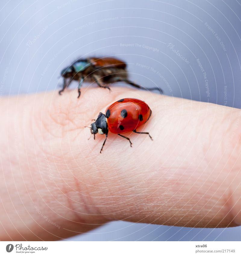 krabbelgruppe Tier Finger Insekt Freundlichkeit Mensch Makroaufnahme Käfer Marienkäfer krabbeln Hand gepunktet Aktion Tierliebe