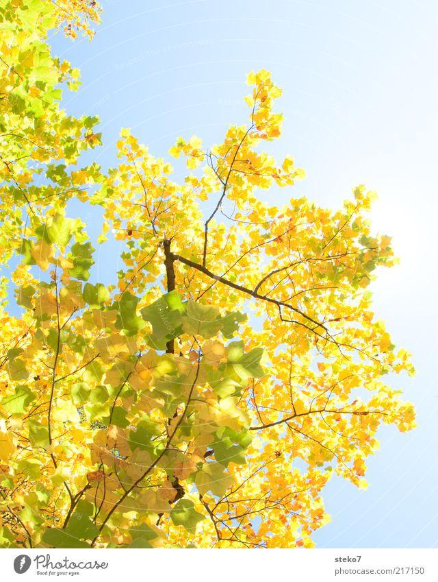 Fehlt da etwa schon ein Blatt? alt Himmel Baum grün ruhig gelb Herbst Wandel & Veränderung leuchten Laubbaum Blätterdach Ahornzweig