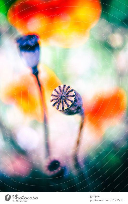 Mohn Natur Pflanze Sommer Schönes Wetter Blume Blüte Wildpflanze Wiese braun mehrfarbig grau grün orange rosa rot Kapsel strahlenförmig knallig Farbfoto