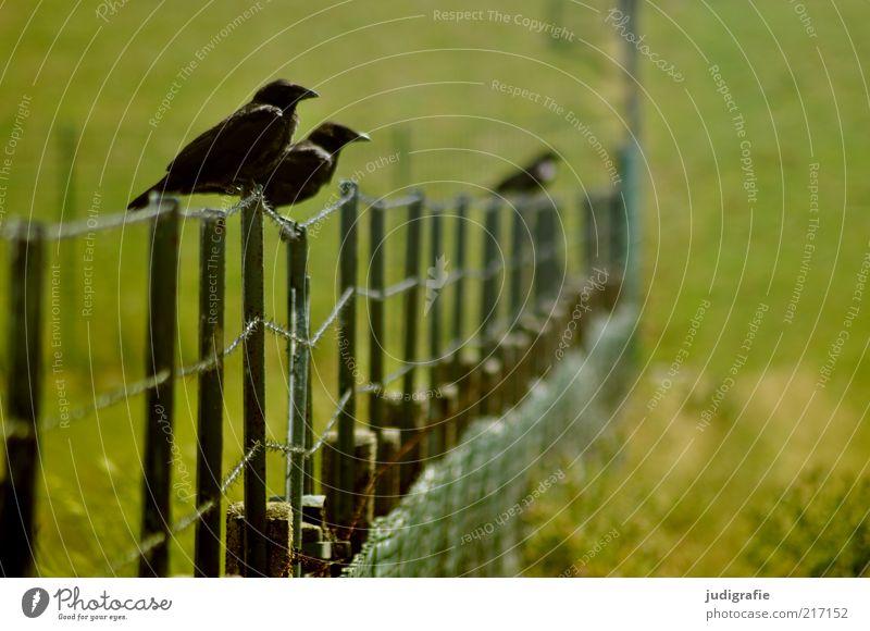 Dangast Umwelt Natur Landschaft Pflanze Tier Gras Wiese Zaun Wildtier Vogel 2 3 sitzen warten grün Farbfoto Außenaufnahme Menschenleer Textfreiraum rechts Tag