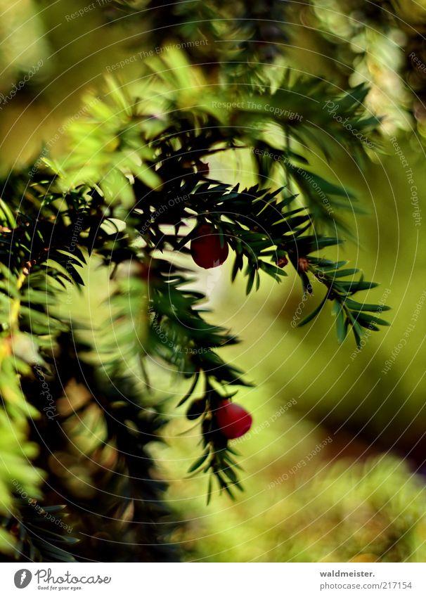 Herbst Natur grün Pflanze rot ruhig Blatt Herbst ästhetisch Beeren Eibe Giftpflanze