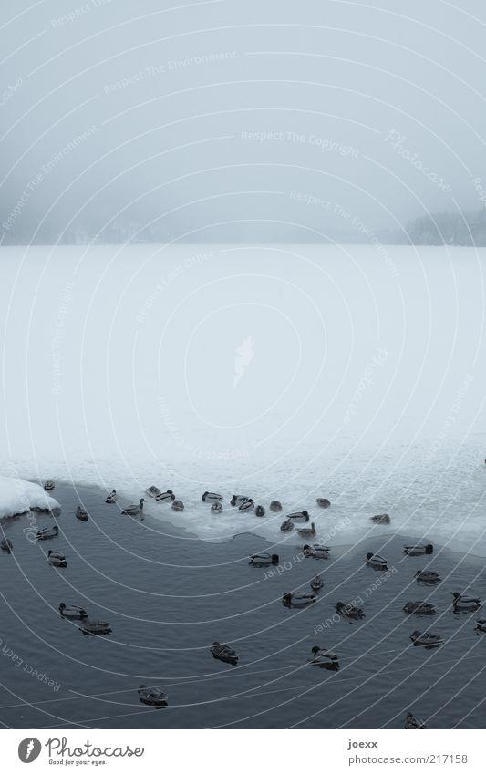 Rückzugsgebiet Wasser Winter schlechtes Wetter Nebel Eis Frost Schnee Seeufer Vogel Tiergruppe Fressen frieren grau kalt Entenvögel gefroren Titisee Eisfläche