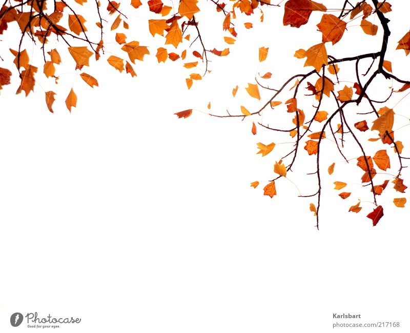herbstflattern. Natur Himmel Pflanze Blatt Herbst Holz Lifestyle Wandel & Veränderung Vergänglichkeit Ast abstrakt Herbstlaub hängend herbstlich Herbstfärbung