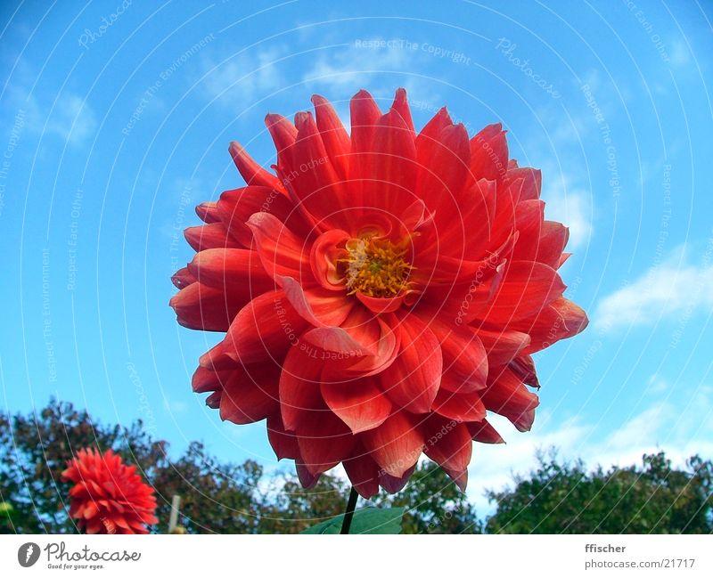 rote Blume Himmel blau Blatt gelb Herbst nah Oktober geschwungen Botanischer Garten