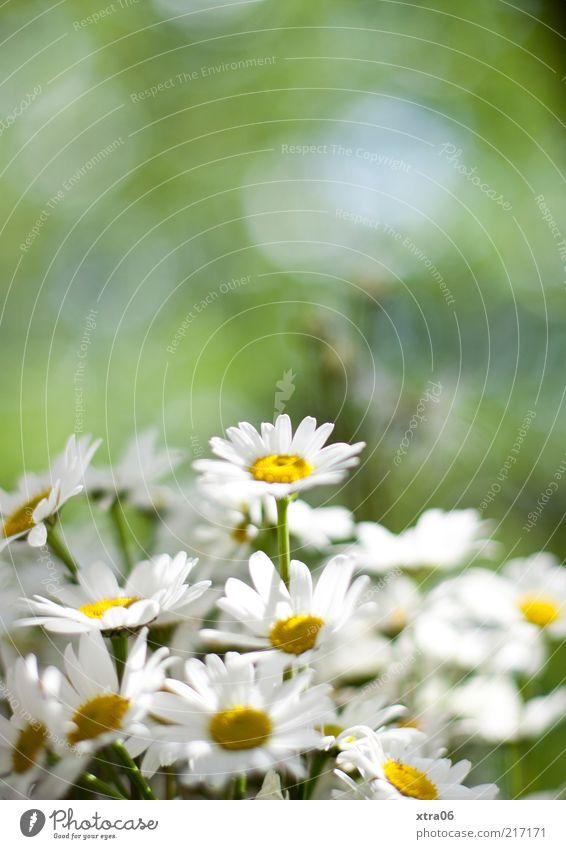 hach, war der sommer schön Umwelt Natur Pflanze Blume Blüte grün weiß Gänseblümchen Farbfoto Außenaufnahme Menschenleer Schwache Tiefenschärfe