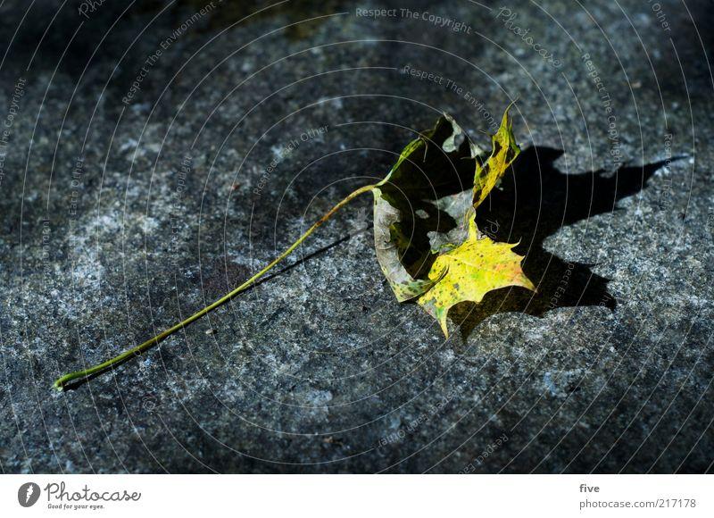 herbst Natur alt Pflanze Blatt gelb Herbst Vergänglichkeit einzeln vertrocknet Herbstlaub welk Herbstfärbung Zyklus Blattschatten