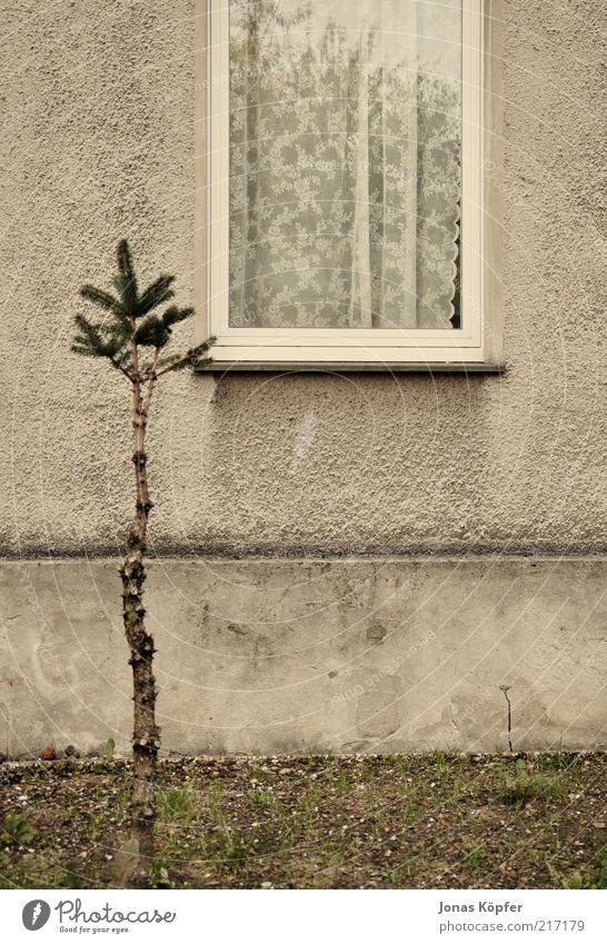 Weihnachtsbaum vor dem Stubenfenster alt Baum Fenster Mauer Gebäude braun trist einfach Vorhang Gardine Anschnitt Bildausschnitt Einfamilienhaus Fensterbrett