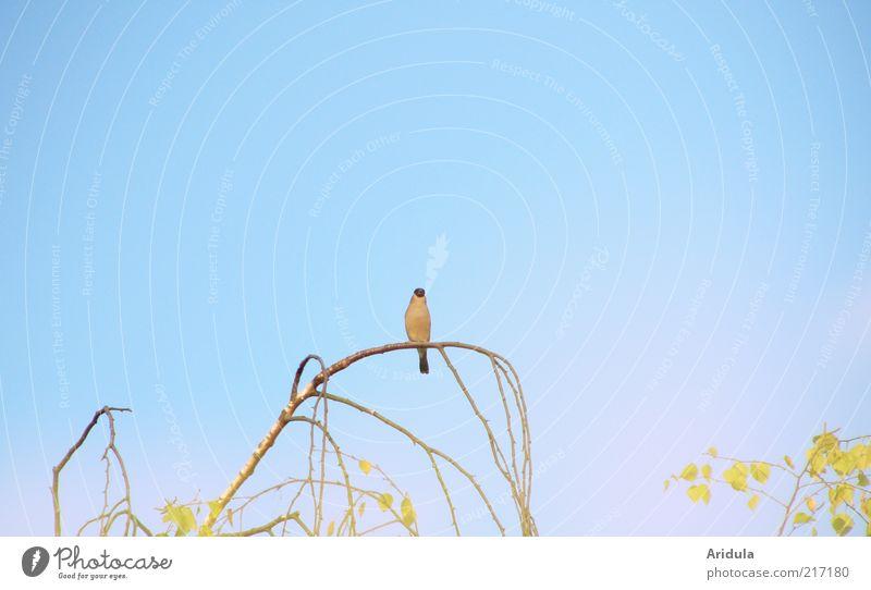 schöne Aussichten Natur Himmel Baum blau Pflanze ruhig Tier Gefühle Luft Stimmung Vogel Umwelt sitzen beobachten Ast Blauer Himmel