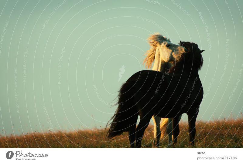 Kleines Vergnügen Umwelt Natur Tier Himmel Wolkenloser Himmel Schönes Wetter Wiese Nutztier Wildtier Pferd 2 Tierpaar Sympathie Freundschaft Zusammensein