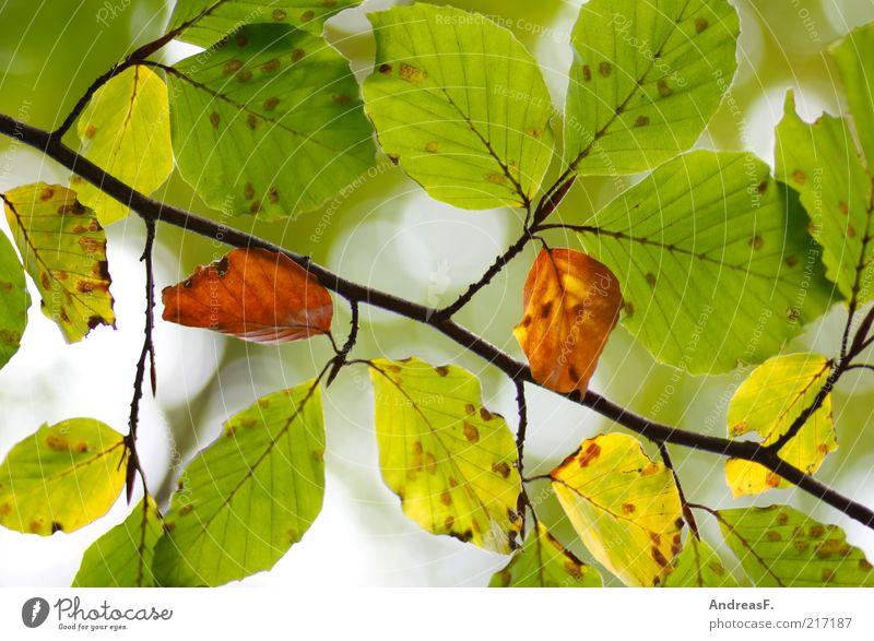 Buche Umwelt Natur Pflanze Herbst Blatt grün herbstlich Herbstfärbung Herbstlaub Blätterdach Buchengewächs Farbfoto Nahaufnahme Licht Sonnenlicht