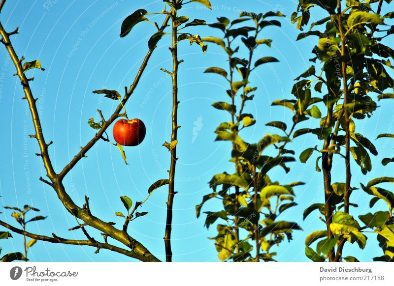 Adams (letzter) Apfel Frucht Ernährung Bioprodukte Natur Pflanze Wolkenloser Himmel Sommer Baum Blatt blau grün rot 1 einzeln Querformat hängend Jahreszeiten