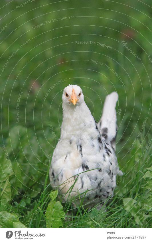 Böser Blick Natur Tier Vogel bedrohlich Landwirtschaft Bauernhof Haustier Mut Aggression Willensstärke Forstwirtschaft Haushuhn Nutztier Hahn Küken Geflügel