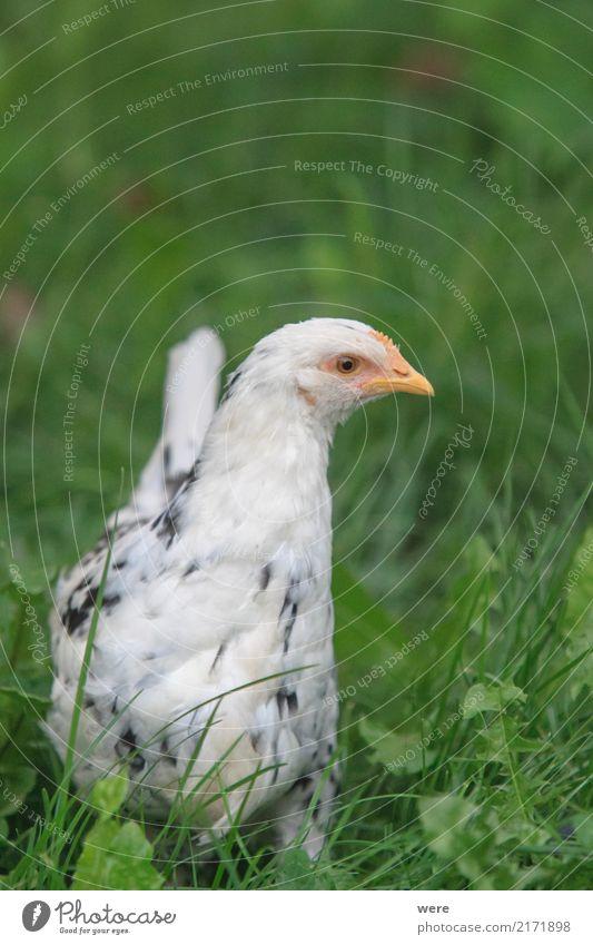 Emely, Junghenne, ledig sucht Anschluss Fleisch Landwirtschaft Forstwirtschaft Natur Tier Vogel Aggression Bauernhof Ei Freilaufendes Huhn Geflügel Geografie