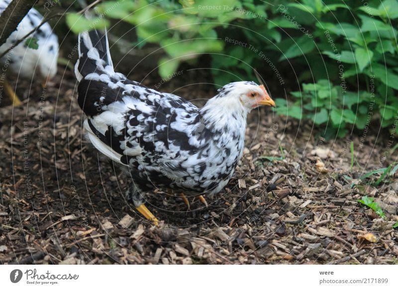 Futtersuche Landwirtschaft Forstwirtschaft Natur Tier Haustier Nutztier Vogel Fressen Bauernhof Ei Flora und Fauna Freilaufendes Huhn Geflügel Hahn Haushuhn