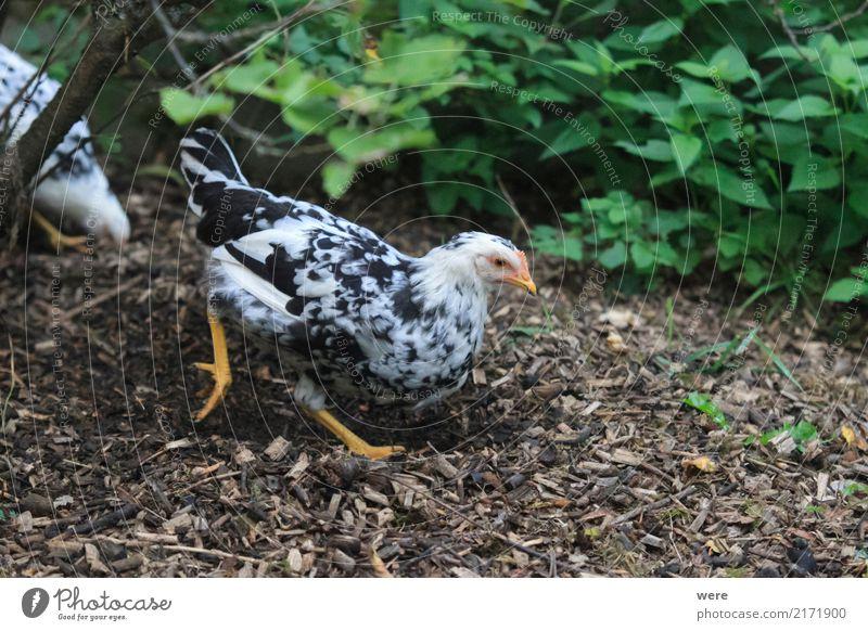 Mistkratzer Landwirtschaft Forstwirtschaft Natur Tier Vogel Fressen werfen Bauernhof Ei Flora und Fauna Freilaufendes Huhn Geflügel Hahn Haushuhn Junghenne