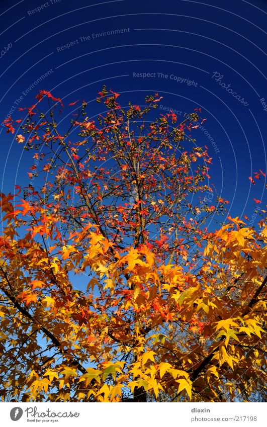 Oktobergold Natur schön Himmel Baum blau Pflanze rot Blatt gelb Herbst Wetter Umwelt gold Wachstum Wandel & Veränderung Vergänglichkeit
