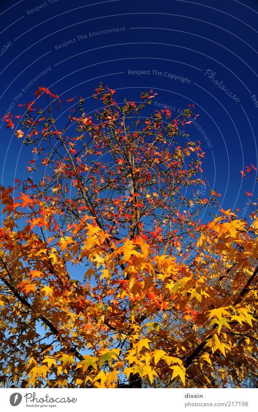 Oktobergold Umwelt Natur Pflanze Himmel Wolkenloser Himmel Herbst Wetter Schönes Wetter Baum Blatt Ast Ahorn Wachstum schön natürlich blau gelb rot