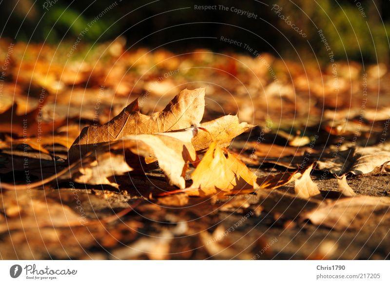 Herbstgold Natur Pflanze Erde Schönes Wetter Blatt natürlich braun mehrfarbig rot Farbe Freiheit Inspiration nachhaltig Verfall Vergänglichkeit Farbfoto