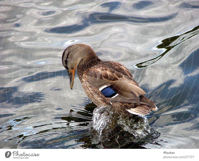Wasserente schön Park nass Verkehr süß Brunnen niedlich Ente Trinkwasser Mineralwasser Potsdam drollig Schloss Sanssouci