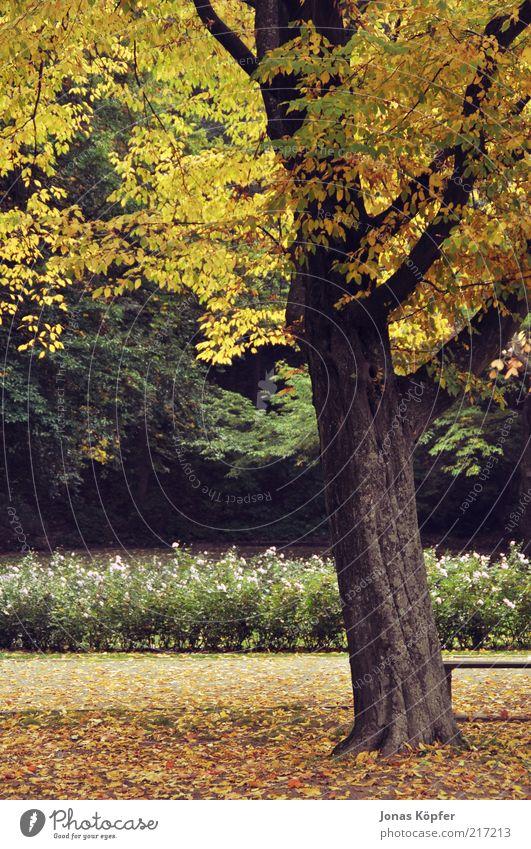 Heidelberger Herbst Natur schön grün Pflanze Blatt gelb Herbst braun Wind gold Romantik Wandel & Veränderung Vergänglichkeit Warmherzigkeit Baumstamm Schönes Wetter
